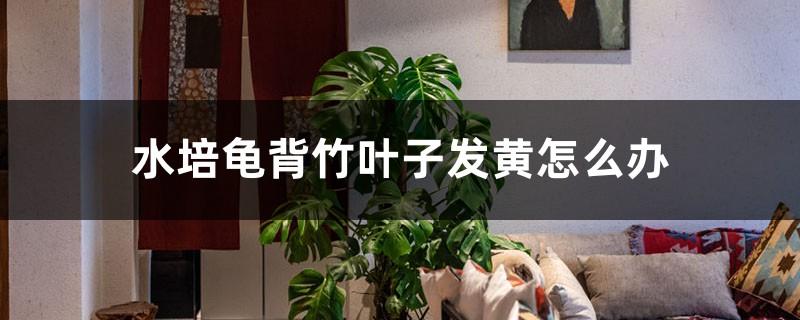 水培龟背竹叶子发黄怎么办