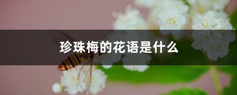 珍珠梅的花语是什么