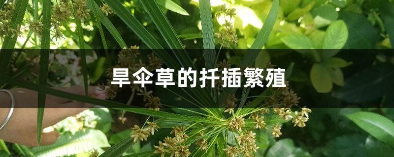 旱伞草的扦插繁殖