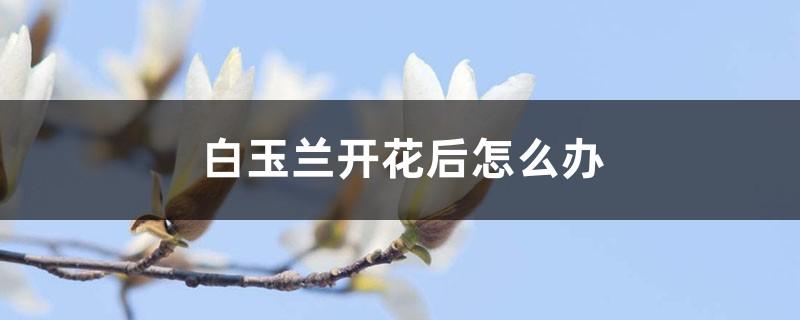 白玉兰开花后怎么办