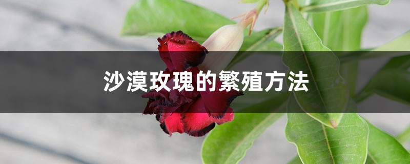 沙漠玫瑰的繁殖方法