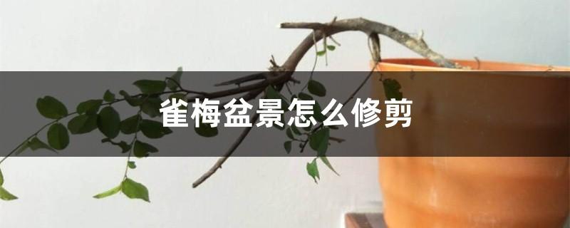 雀梅盆景怎么修剪