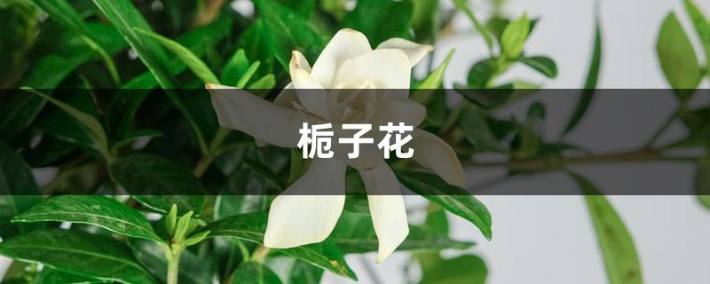 刚买的栀子总发黄?学1招,3天黄叶变绿叶,花朵咕噜噜冒!