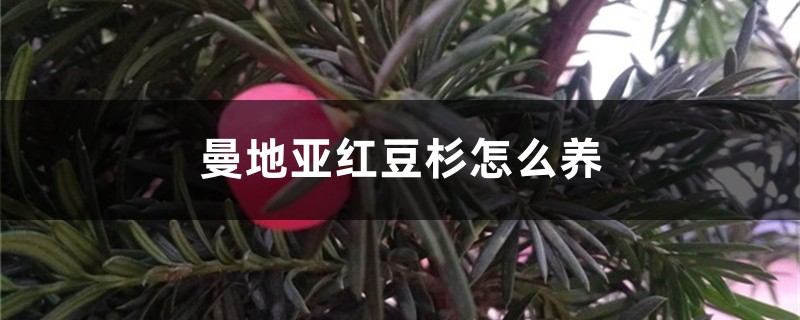 曼地亚红豆杉怎么养