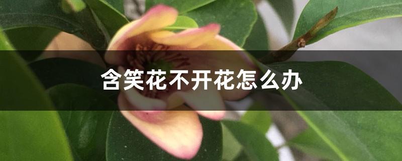 含笑花不开花怎么办