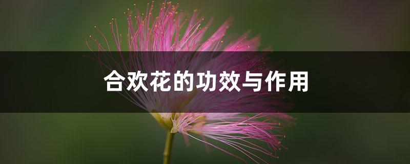 合欢花的功效与作用