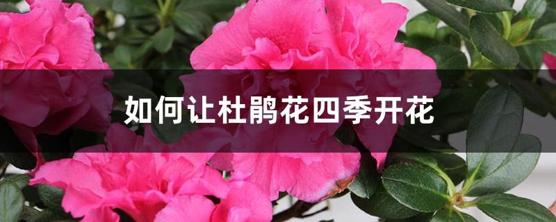 如何让杜鹃花四季开花