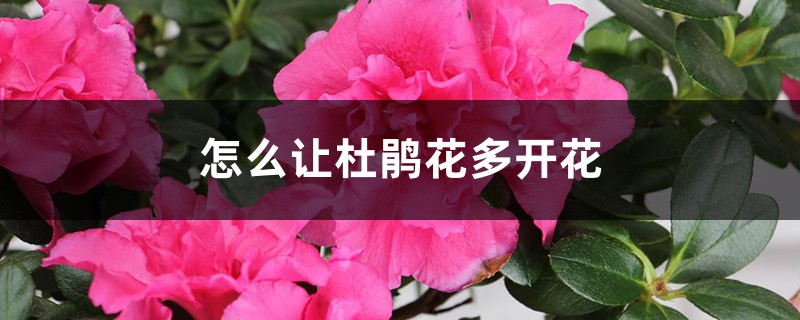 怎么让杜鹃花多开花