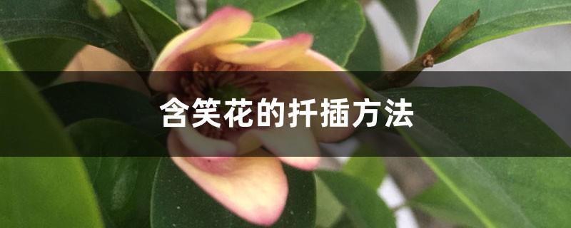 含笑花的扦插方法
