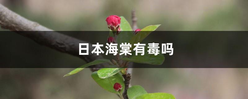 日本海棠有毒吗
