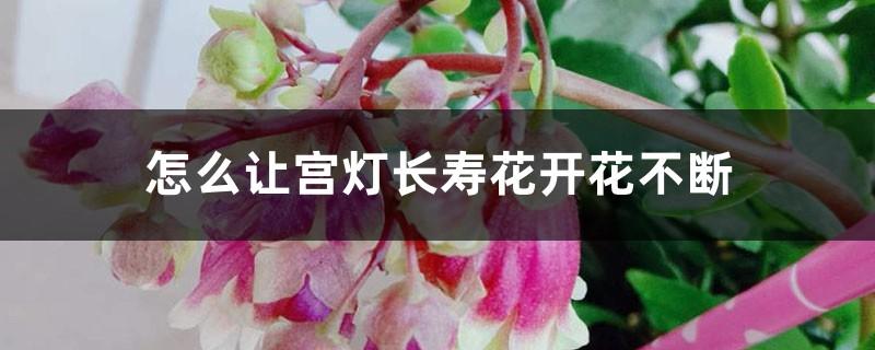 怎么让宫灯长寿花开花不断