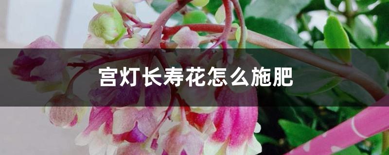 宫灯长寿花怎么施肥