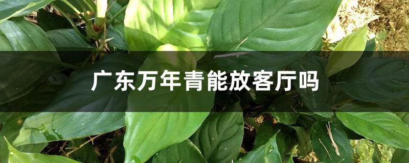 广东万年青能放客厅吗