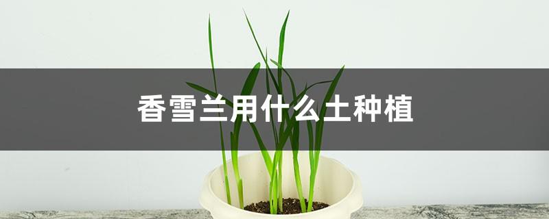 香雪兰用什么土种植