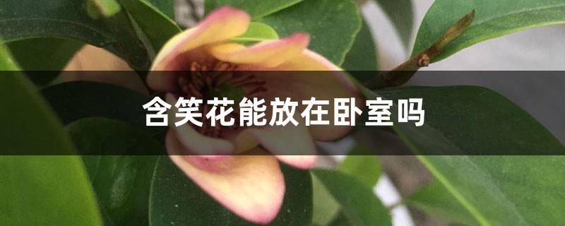 含笑花能放在卧室吗