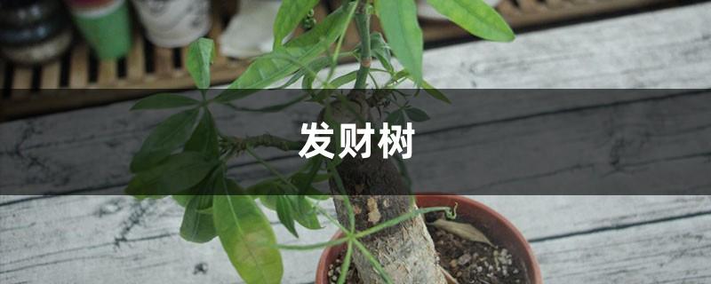发财树不用买,掐个枝插土里就活,10天冒出大白根!