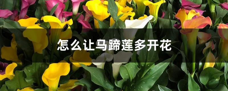 怎么让马蹄莲多开花