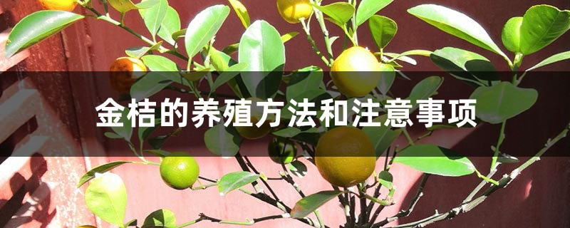 金桔的养殖方法和注意事项