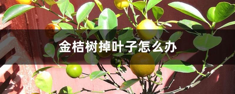 金桔树掉叶子怎么办