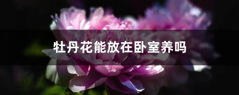 牡丹花能放在卧室养吗