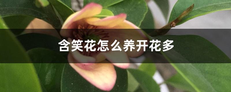 含笑花怎么养开花多