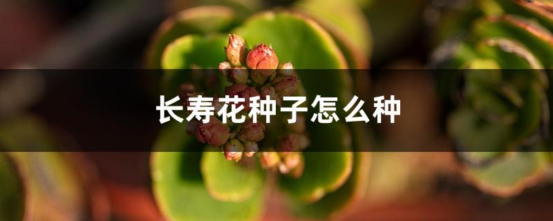 长寿花种子怎么种