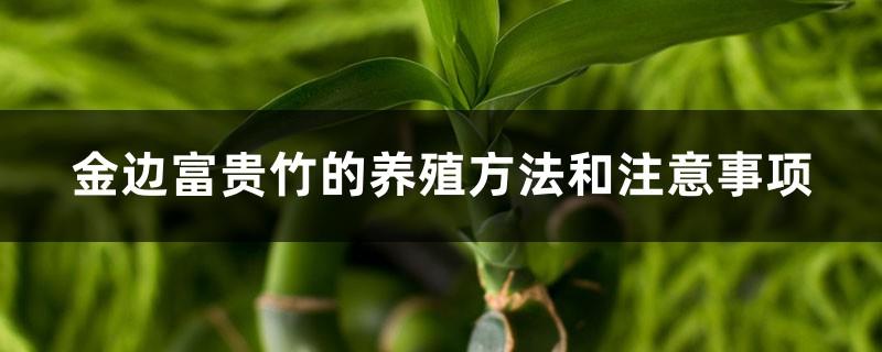 金边富贵竹的养殖方法和注意事项