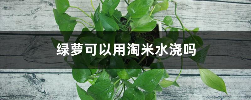 绿萝可以用淘米水浇吗