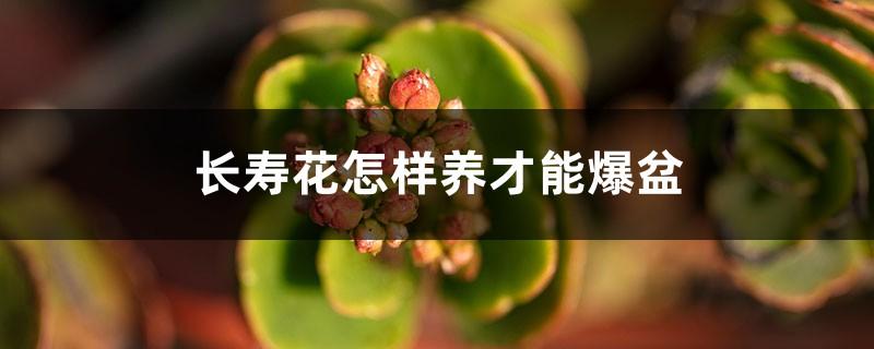 长寿花怎样养才能爆盆