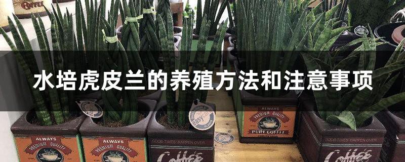 水培虎皮兰的养殖方法和注意事项
