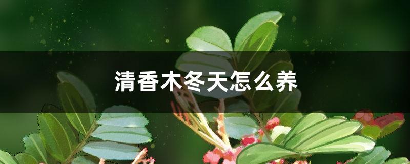 清香木冬天怎么养