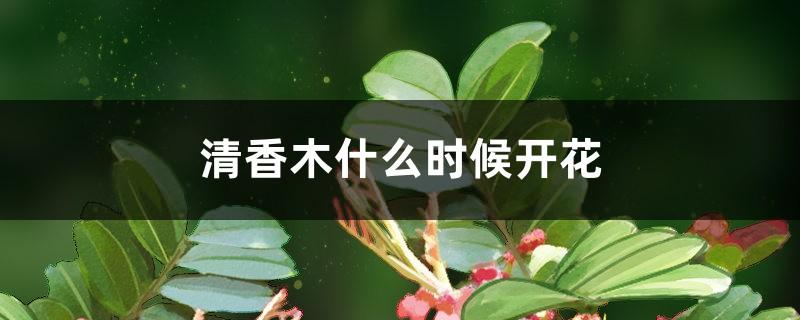 清香木什么时候开花