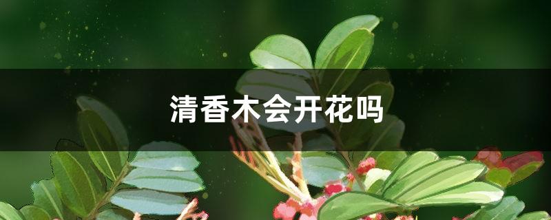 清香木会开花吗