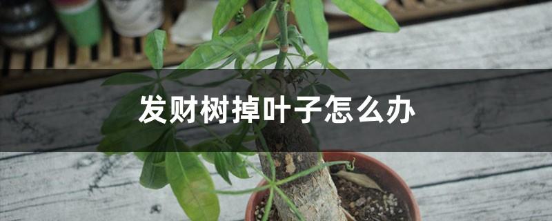 发财树掉叶子怎么办