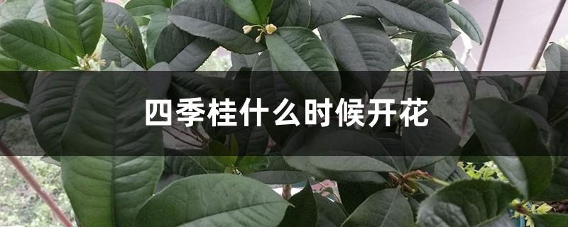 四季桂什么时候开花