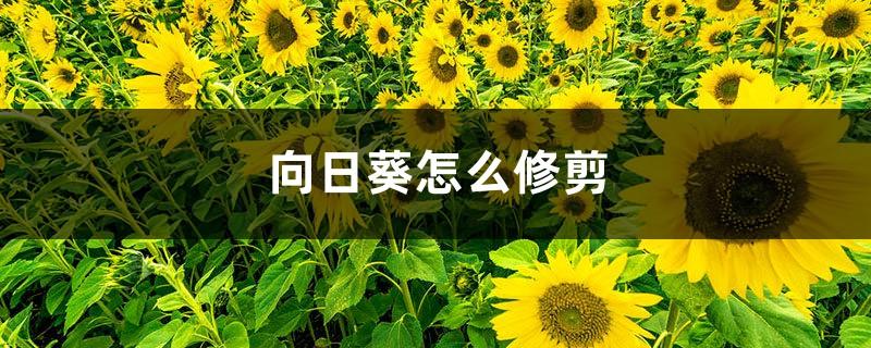向日葵怎么修剪