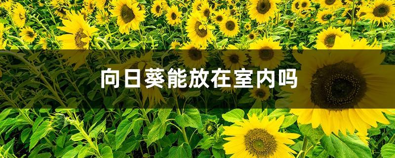 向日葵能放在室内吗