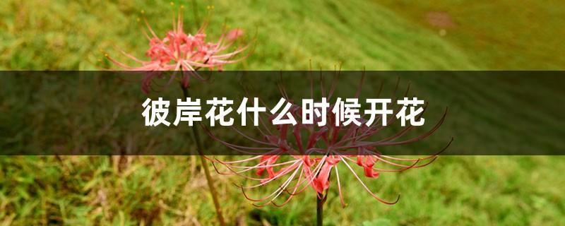 彼岸花什么时候开花