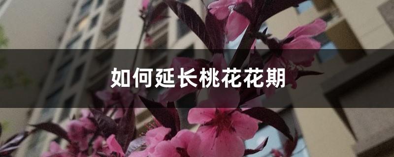 如何延长桃花花期