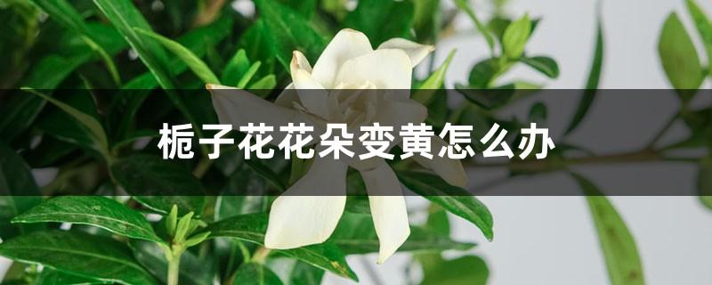 栀子花花朵变黄怎么办