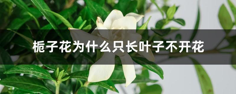 栀子花为什么只长叶子不开花