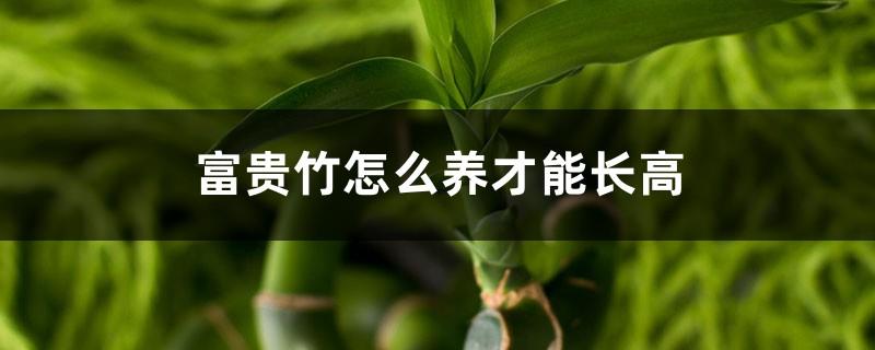 富贵竹怎么养才能长高