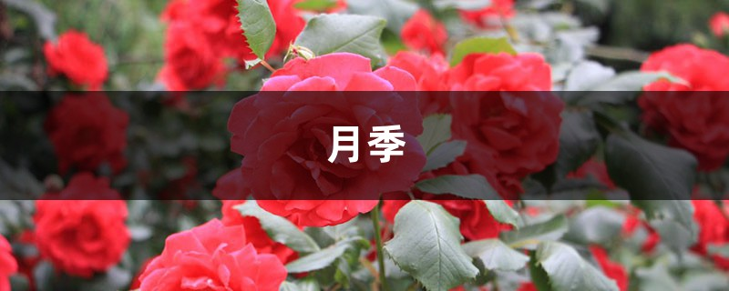 中国这17种月季,花大饱满,比欧月好看多了!