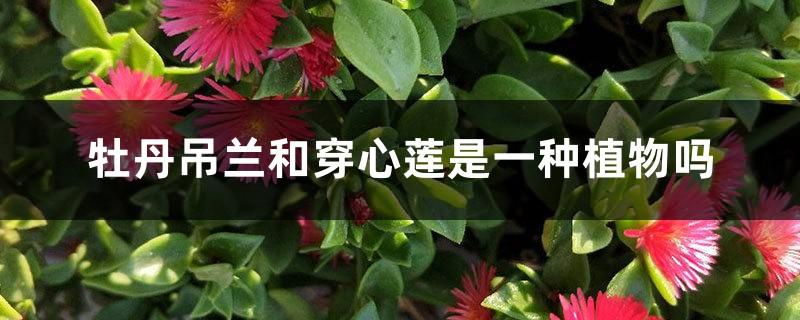 牡丹吊兰和穿心莲是一种植物吗