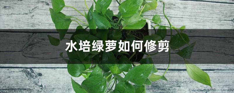 水培绿萝如何修剪