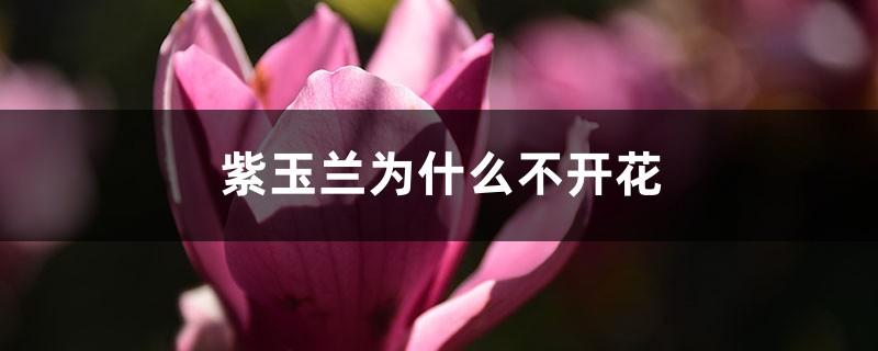 紫玉兰为什么不开花