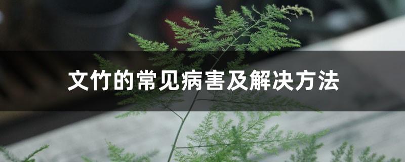 文竹的常见病害及解决方法
