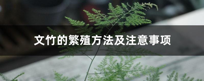 文竹的繁殖方法及注意事项