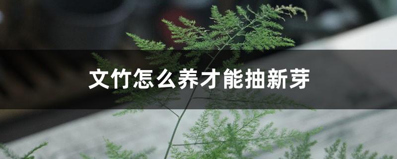 文竹怎么养才能抽新芽