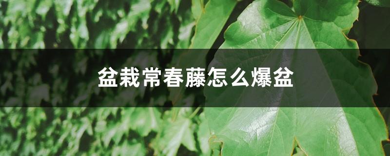 盆栽常春藤怎么爆盆